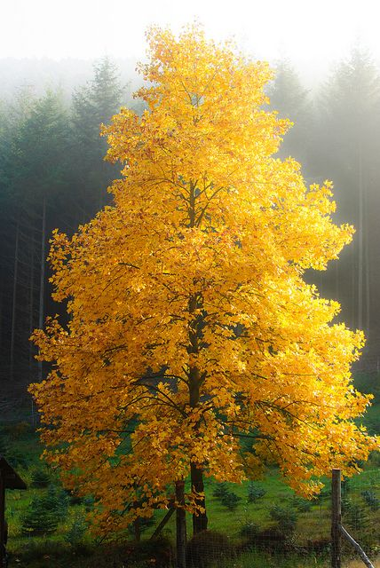 matthiasheidelberg: Baum im Herbst on Flickr.