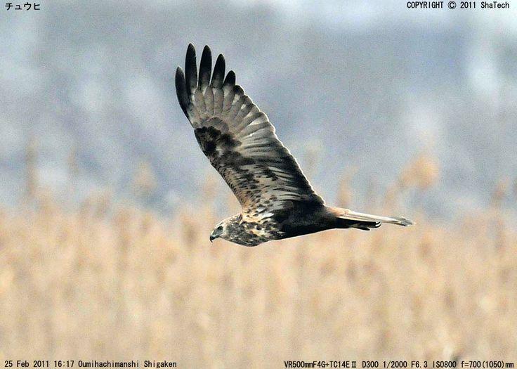 Eastern Marsh Harrier (Circus spilonotus)