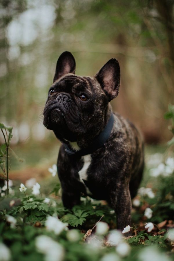 Happy Tails Winston The French Bulldog Dog Photography Puppies Animal Photography Wild Animals Photography