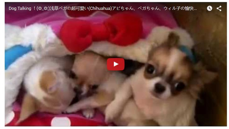 3 Talking Chi Puppies