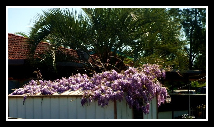 WISTERIA ON NEIGHBOURS GARDEN SHED