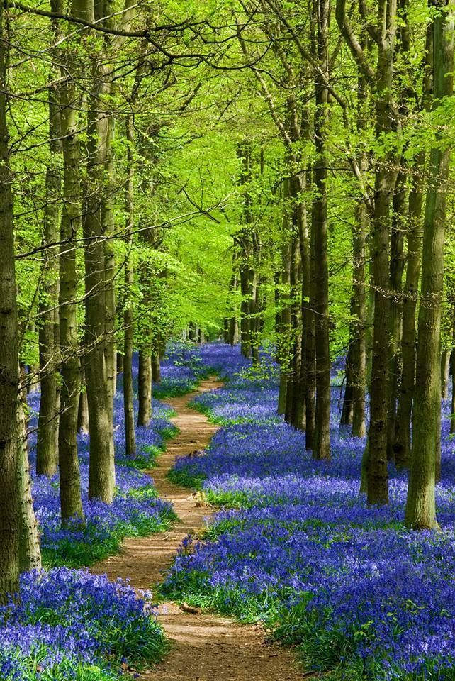 Bluebells Ground Cover In Forest Spring Landscape Photography Spring Landscape Beautiful Nature