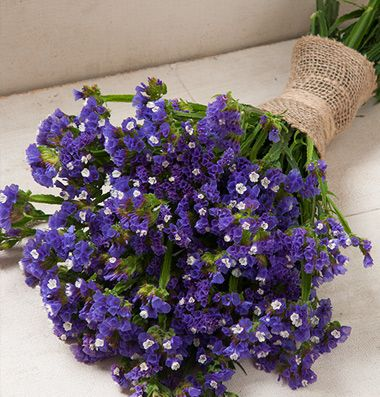 """Supreme Blue Highest quality blue statice.  Large, uniform flowers with strong stems. Blooms have white centers while growing, but turn a solid blue color when dried. Also known as annual statice and wavyleaf sea lavender. Ht. 24-30"""". Avg. 10,600 seeds/oz. Packet: 100 seeds. $3.95"""
