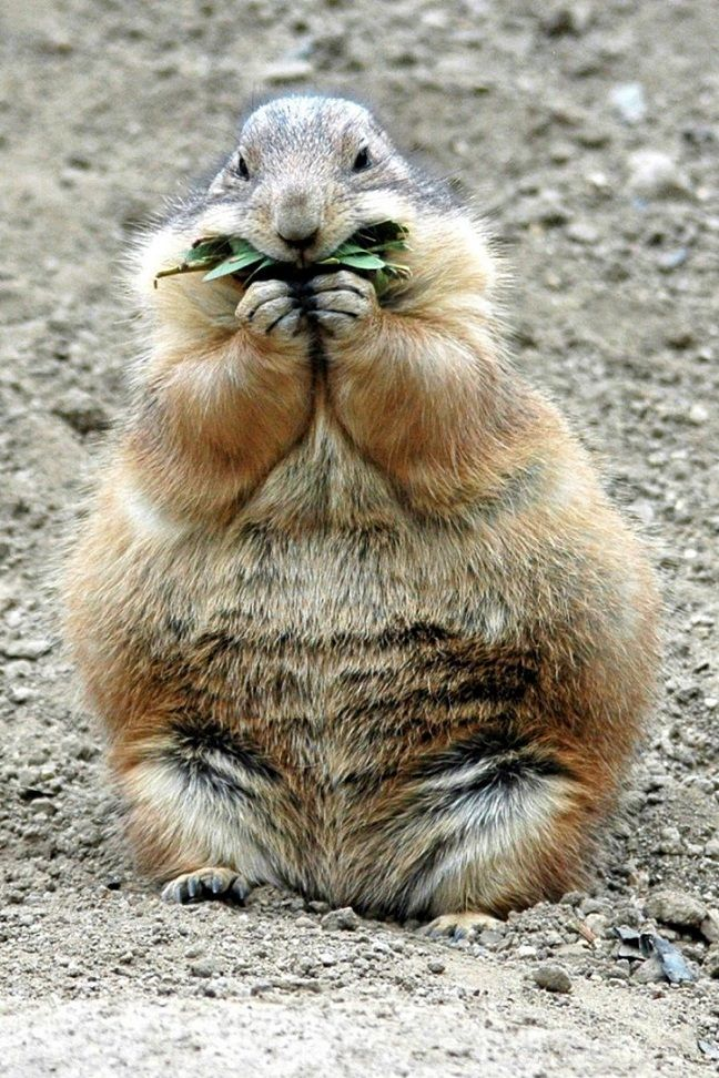 Hungry Prairie Dog - @Elizabeth Pear , I thought you needed a cute, fat rodent in your life today. Enjoy.
