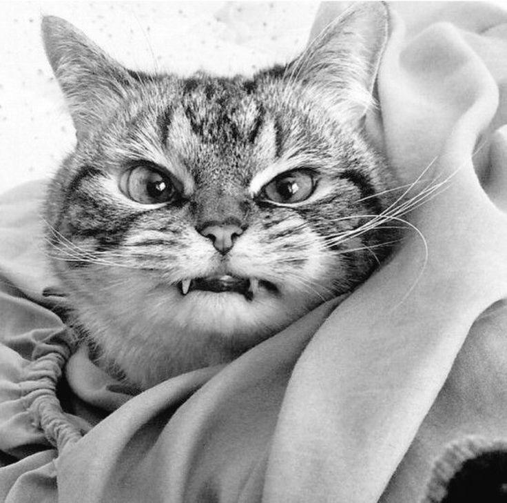 Картинка злой котенок