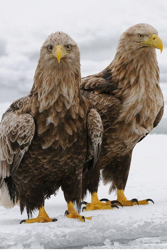 Happy Eagle Brothers at Rausu, Hokkaido Peninsula in Japan by Harry Eggens.