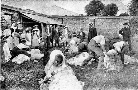 Sheep Shearing, Wooolacotts, Witheridge, Devon