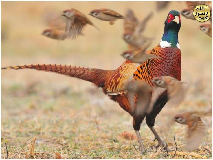 Tehlike ânında gürültülü şekilde havalanarak kısa mesâfeler arasında hızla uçar veya koşarak çalılıklar arasında gizlenirler.