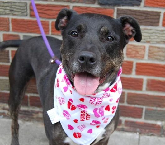 CORA ~A1083465~ 6 YEARS. URGENT BROOKLYN. Please Share/Adopt/Foster.⭐http://nycdogs.urgentpodr.org/cora-a1083465/  This dog is one of many animals in t... - Lisa Brabson - Google+