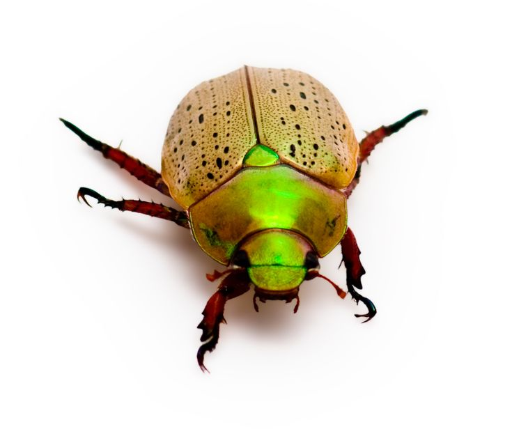 Centre for Fortean Zoology Australia: A Christmas (Beetle).  It never really feels like Christmas until you have a few of these buzzing on the fly screens.  They are the true sign that Christmas is just around the corner!