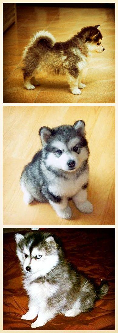 Pomskies: Pomeranian + Husky mix. Gimme