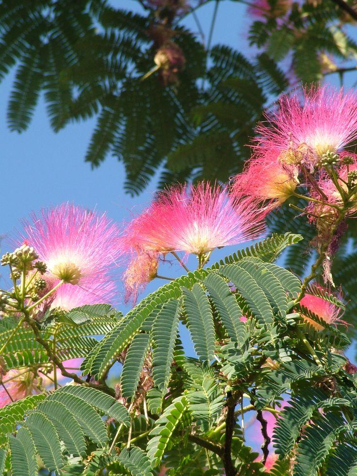 the 25+ best albizia ideas on pinterest | jardin australien, tapis
