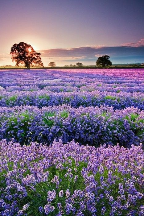 Lavender field sunset, Provence, France : Best time to see violet  shade field view is in summer only from June to August..  www.travelxcapes.com