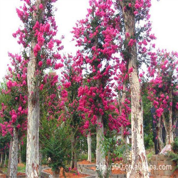 Креп миртл семена 10 шт. в мире редкие деревья для сада домой посадка деревьев Semillas E054