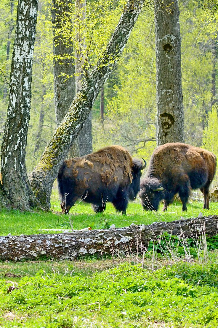 Bison in Russia