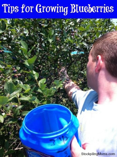 Tips for Growing Blueberries