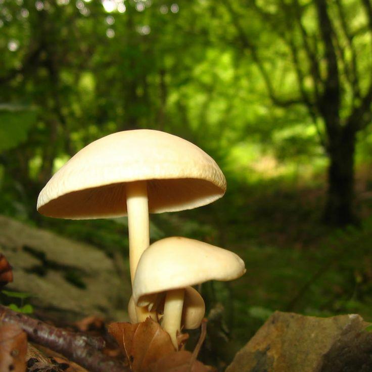 Senderuela (Mariasmus Oreades),ya  no hace falta que vaya al bosque para tenerla en su cocina...