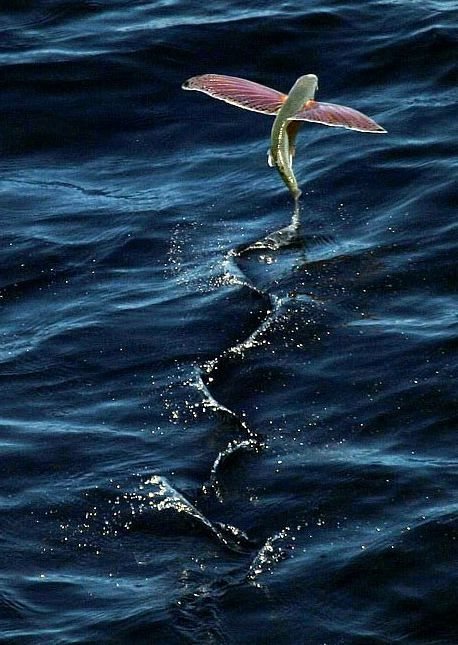 Every time I go deep sea fishing out of Galveston, I see these flying fish.  They are unreal! They jump outta the water, sometimes 15 feet high, and flap their fins and literally fly for up to 5 seconds. Amazing!