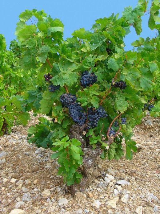 Группы и сорта винограда.  Главные требования к дачному виноградарству сводятся к возможности выращивать культуру винограда без применения химии. То есть это должны быть сорта достаточно устойчивые к болезням и вредителям, урожайные, морозостойкие, отличающиеся высокими вкусовыми качествами ягод.
