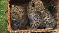 Zoo di Berlino presenta rari cuccioli di leopardo.