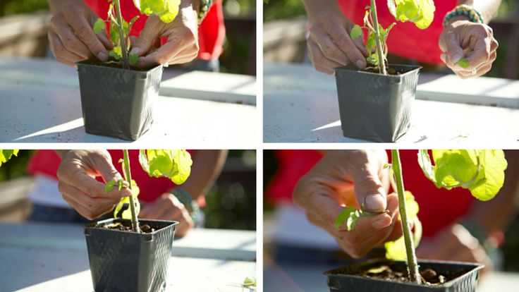 Planting Tomatoes | 10 Tips for Growing a Bumper Crop