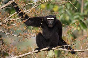 Hoolock gibbon (Hoolock hoolock) Bangladesh Populations of the endangered Hoolock gibbon in Bangladesh fell by more than 50% from 1986-2006, as their forest habitat was felled. Wildlife numbers plunge by 50% since 1970
