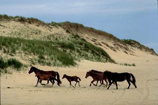 Wild horses on Sable Island, a sand bar and nationally protected bird sanctuary 175 km off the coast of Nova Scotia.