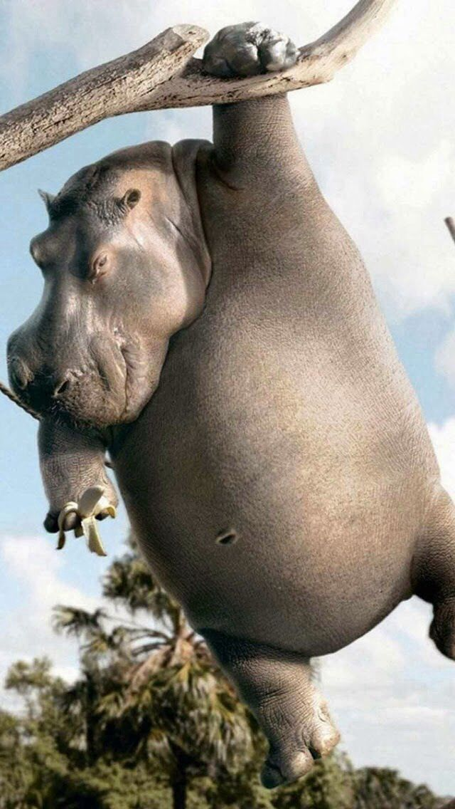 hippos - Pictures Of Hippos