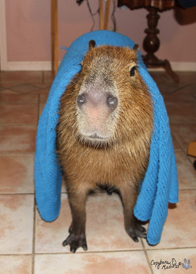 57 best images about Capybaras on Pinterest | The giants ...