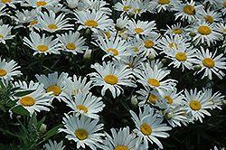 Silver Princess Shasta Daisy (Leucanthemum x superbum 'Silver Princess') at Stein Gardens & Gifts