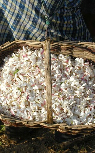Jasmine - The tiny, fragile blossoms must immediately be delivered to where they will be transformed into absolute, to protect their sensual, floral note ...