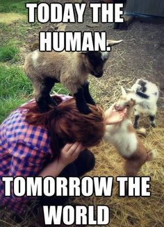 funny pygmy goat pictures - Google Search