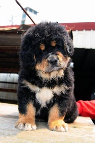 Tibetan Mastiff - Puppy - Molosser Dogs Gallery