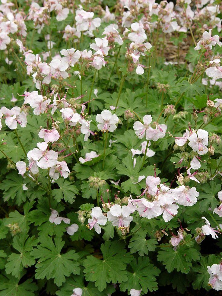 geranium biokovo | Hardy geranium 'Biokovo' | Garden Housecalls
