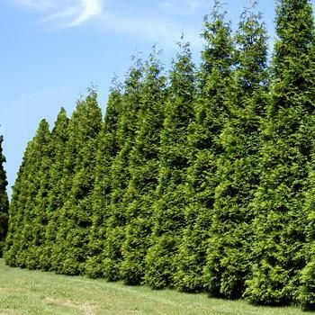 Evergreens That Stop Growing at a Perfect 8-12 ft. Height - These easy-to-grow hedge trees are perfect for tight areas. Its shimmering emerald color and disease resistance make it an extremely popular evergreen hedge.   Your best choice for a medium-sized privacy screen... just plant every 3 ft. for a tidy, neat hedge that never needs trimming.  Ideal for…