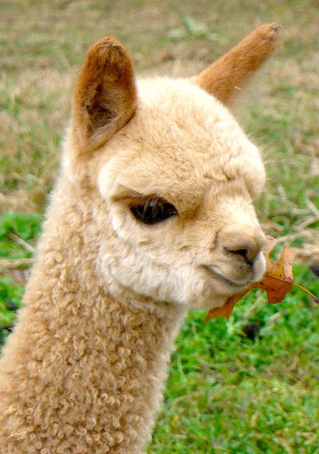I am really looking forward to my Machu Picchu trip and hope to see baby alpacas like this cutie.