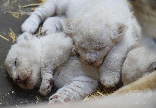 ホワイトライオンの赤ちゃん公開、仏の動物公園