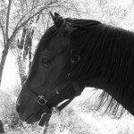 Azel cheval marocain - blog voyage trace ta route   www.trace-ta-route.com http://www.trace-ta-route.com/maroc-randonnee-a-cheval/  #maroc #morocco #atlas #horse #cheval