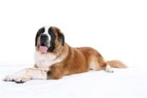 St. Bernard - used to have two of these gentle giants along with a Chihuahua.  The Chihuahua was the dominant one of the group. :)