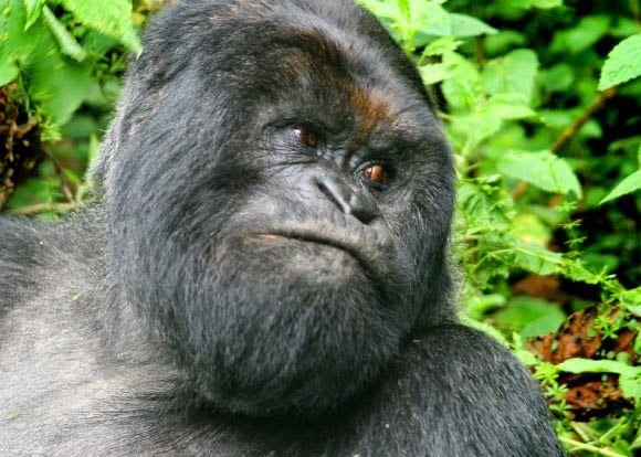 BioOrbis: Gorilas da montanha revelam os seus segredos genét...