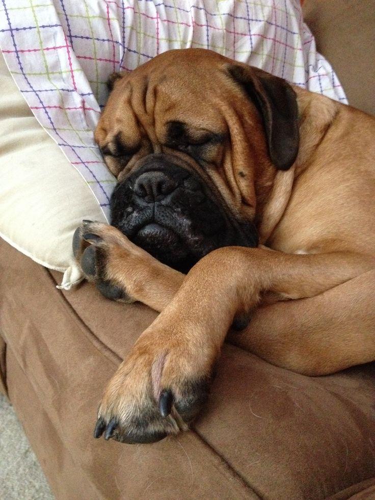 Beauty like his takes many hours of sleep. #bullmastiff