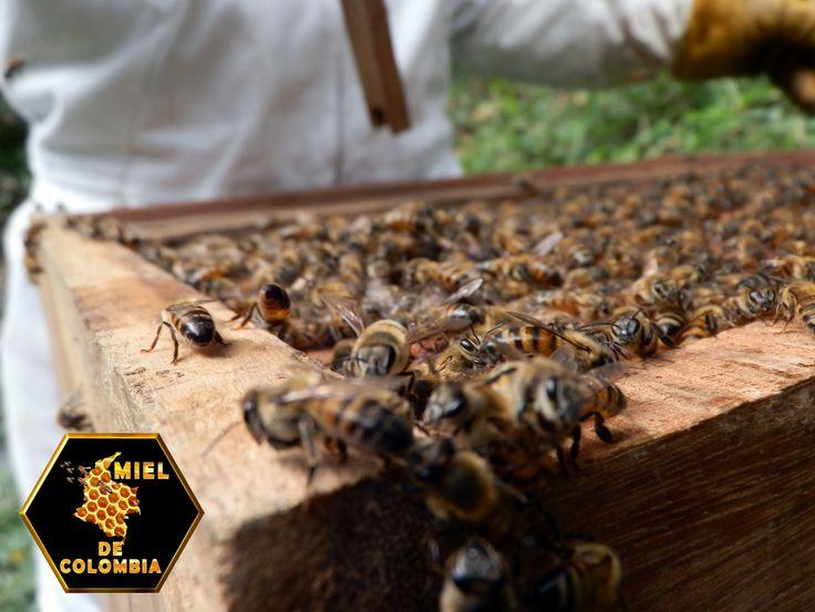 Si no se observan síntomas de enfermedad, es decir: No hay abejas muertas, ni manchas en el tablero de vuelo, ni abejas volando en zigzag sobre las colmenas, ni aserrín en forma notoria, ni larvas o pupas muertas frente a la piquera: Pasaremos a observar colonias de abejas sanas o aparentemente sanas a las que le evaluaremos el estado de las reservas de alimentos y en segundo lugar, su capacidad potencial de despegue Esto significa que intentaremos evaluar la calidad de la reina.
