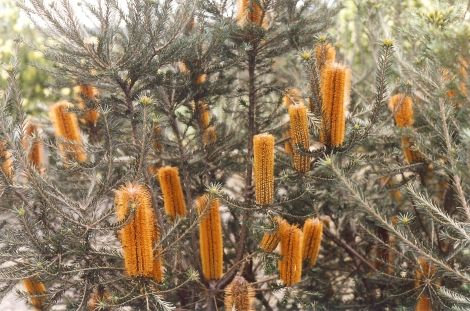 Banksia Yellow Wing --- For more Australian native plants visit austraflora.com