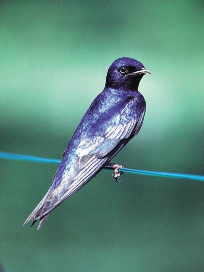 The Purple Martin (Progne subis) is the largest North American swallow. Purple Martins' breeding range is throughout temperate North America. Their breeding habitat is open areas across eastern North America, and also some locations on the west coast from British Columbia to Mexico.