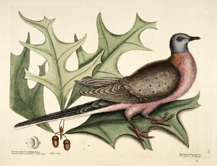 Biodiversity Heritage Library: The Natural History of Carolina, Florida, and the Bahama Islands, v. 1 (1754). 100 years go on Sept. 1, 1914, Martha, the last Passenger Pigeon, died at the Cincinnati Zoological Park. She is now on display at the Smithsonian's National Museum of Natural History, and the demise of the passenger pigeon helped spark concerted conservation efforts in the US. This illustration by Mark Catesby is the first published depiction of the species. #ArchivesMonth