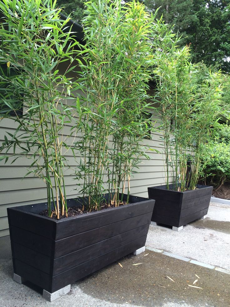 Semiarundinaria fastuosa 'Viridis'  I like this planter for the bamboo -Julia