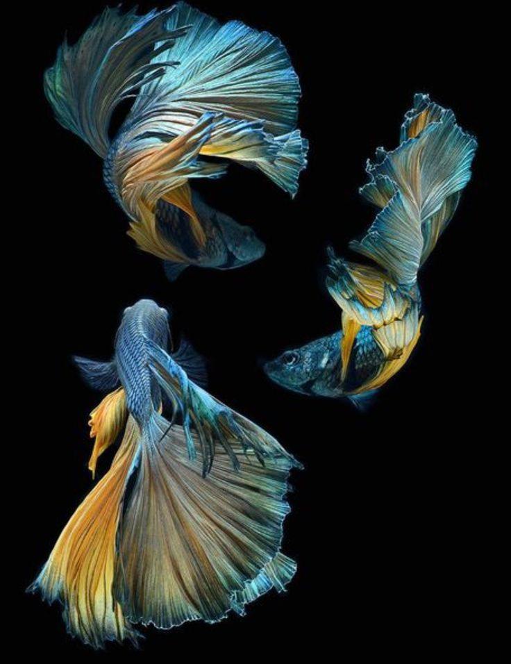 21 best images about funky looking fish on pinterest in for Betta fish painting