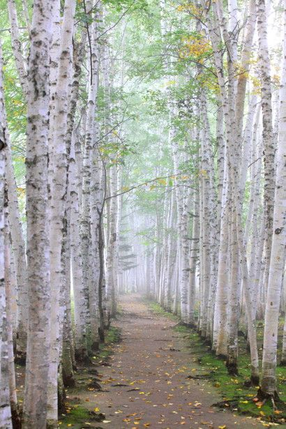 White Birch Path at Biei, Hokkaido, Japan