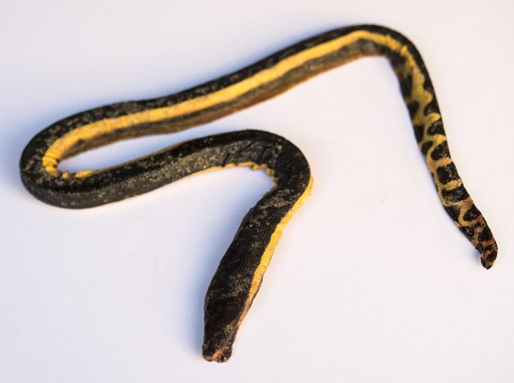 Es un raro fenómeno que intriga a los científicos. Por tercera vez en los últimos meses, una rara serpiente marina venenosa de vientre amarillo ha recalado en las costas de California, muy lejos de su cálido hábitat tropical.