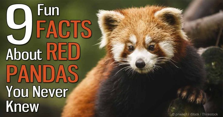 Red pandas are of the order Carnivora, making them carnivores, but their diet consists almost entirely of bamboo leaves. http://healthypets.mercola.com/sites/healthypets/archive/2014/09/26/facts-about-the-red-panda.aspx